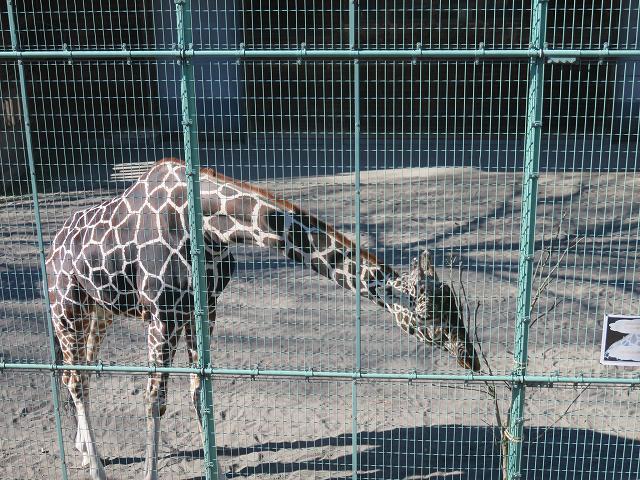 桐生が岡動物園のキリン