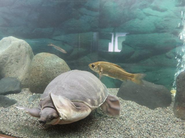 桐生が岡動物園の水族館エリアにいる亀