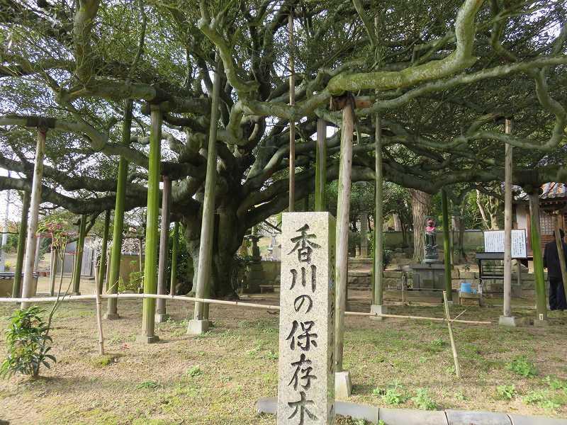 本島の長徳寺にある香川の保存木「モッコク」