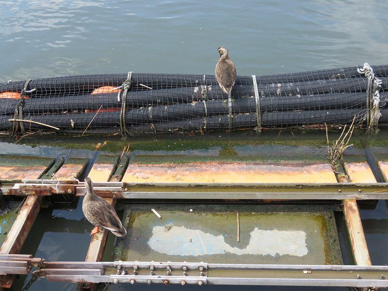 江戸川競艇場のカモ